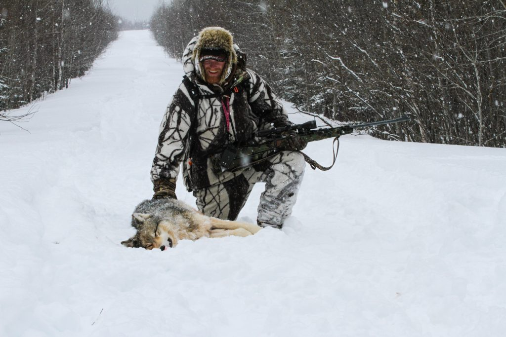 Grey Timber Wolf